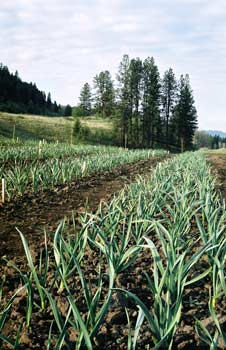 Growing organic garlic in British Columbia